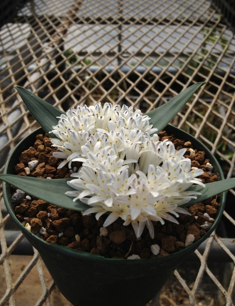 Polyxena ensifolia or maughanii(White Flower)