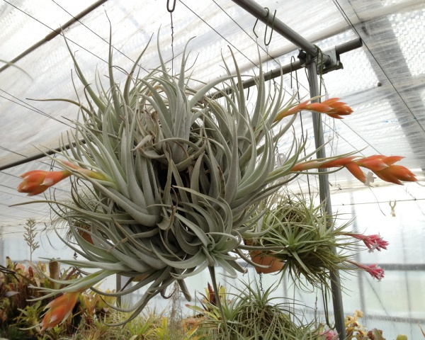 Tillandsia recurvifolia var.subsecundifolia